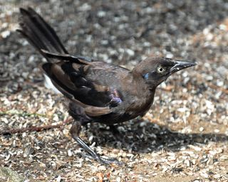 Common Grackle DSC_1688