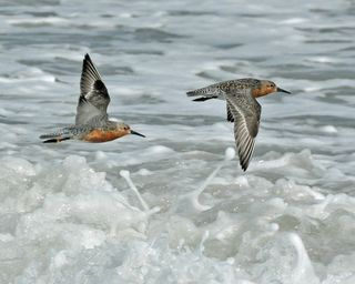 Red Knots DSC_1692ps