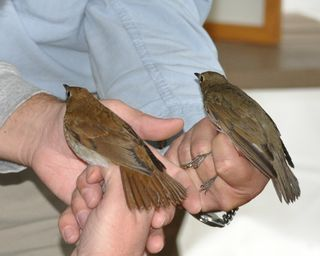 Veery and Swainsons DSC_0558