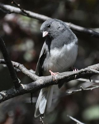 Dark-eyed Junco DSC_2164