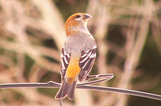 Pine Grosbeak P1180239