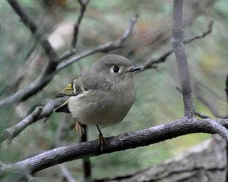 Ruby-crowned Kinglet DSC_2235