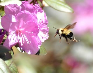 Bee at rhododendren DSC_1517