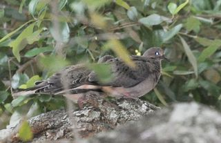 Mourning Dove young DSC_1231