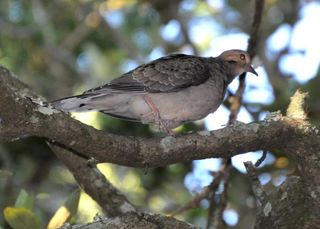 Mourning Dove young DSC_1232