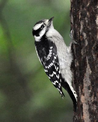 Downy Woodpecker young female DSC_0341