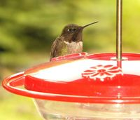 Hummingbird male guarding fdr P1230761