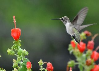 Black-chinned Hummingbird DSC_0388