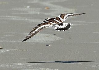 Ruddy Turnstone DSC_0488