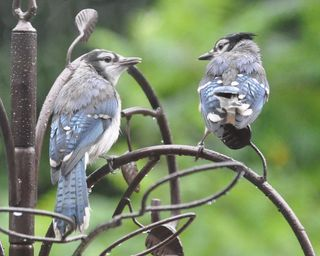 Blue Jay siblings DSC_1047