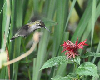 Ruby-throated Hummingbird at Bee Balm DSC_1124