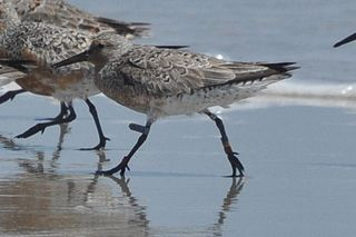 Red Knot DSC_0760