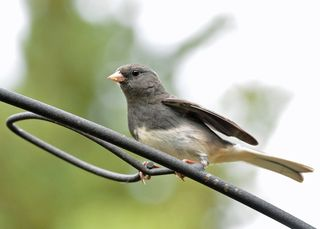 Dark-eyed Junco DSC_2251
