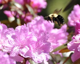 Bee at rhododendren DSC_1567
