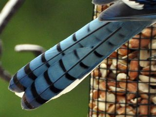 Blue Jay tail DSC_0202