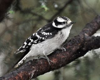 Downy Woodpecker young female DSC_0327