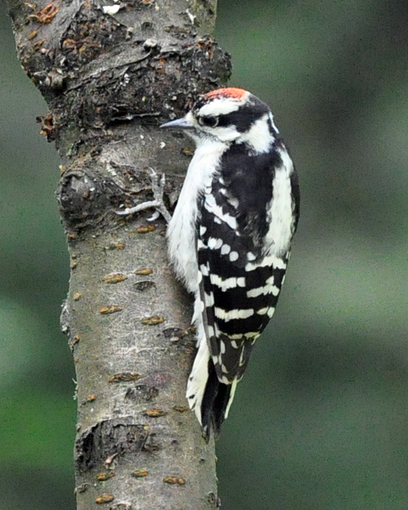 Downy Woodpecker Fledgling Downy Woodpecker Young Male
