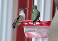 Ruby-throated Hummingbirds DSC_4308