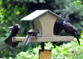 Common Grackles DSC_1555