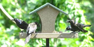 Common Grackles DSC_1609