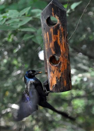 Common Grackle at suet DSC_1682