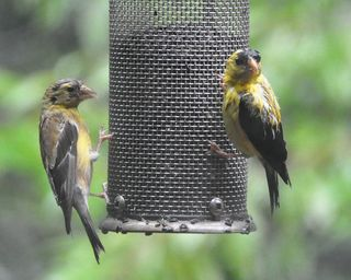 American Goldfinches during Irene DSC_1945