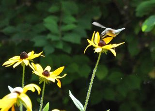 Ruby-throated Hummingbird on Black-eyed Susan DSC_7437