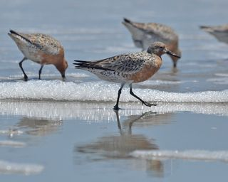 Red Knot DSC_0817cr