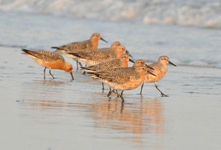 Red Knots DSC_0104ps
