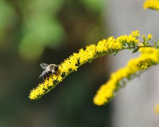 Bee on Solidago DSC_2139