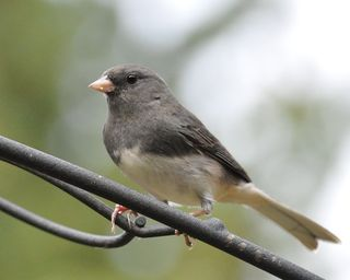 Dark-eyed Junco DSC_2250