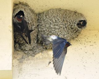 Cliff Swallows at nests DSC_0015