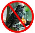 No Starling webres