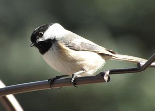 Black capped Chickadee DSC_3237