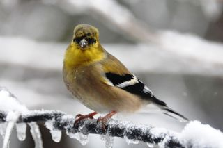 American Goldfinch male DSC_3516