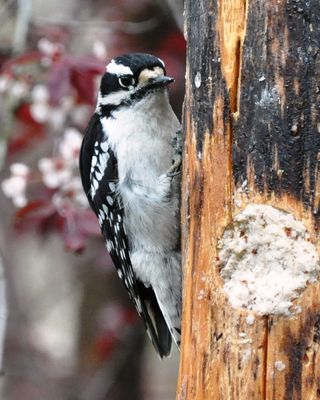 Downy Woodpecker DSC_4068