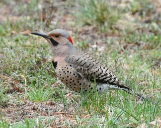 Northern Flicker DSC_4044