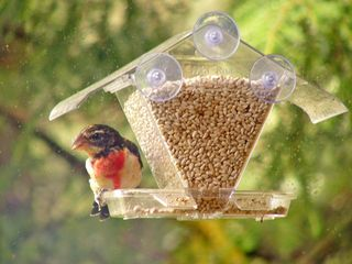 Rose-breasted Grosbeak at Window feeder