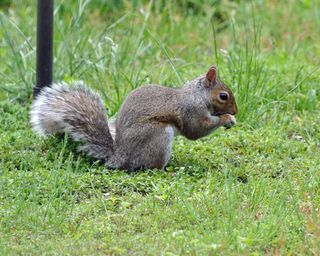 Gray Squirrel DSC_0653