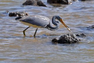 Tri-colored Heron with food DSC_0442
