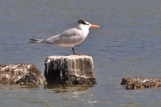 Royal Tern DSC_0486
