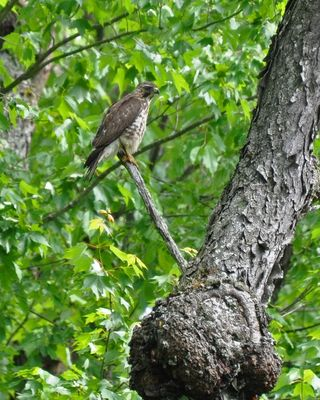 Broad-winged Hawk DSC_1319
