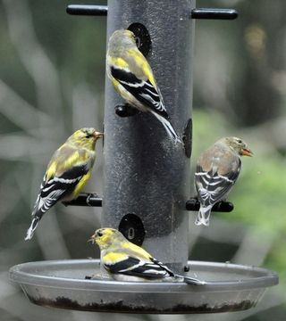 American Goldfinches spring DSC_1249