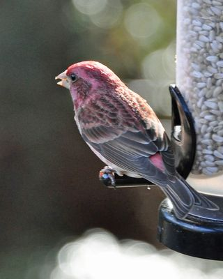 Purple Finch male DSC_1504