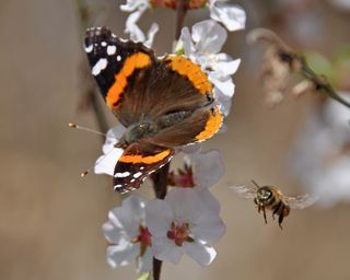 Red Admiral and bee DSC_3781