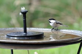 Chickadee at solar fountain DSC_4604