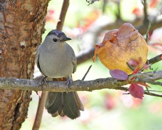 Gray Catbird w pear DSC_4668 ps