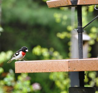 Rose-breasted Grosbeak at tray feeder DSC_0858