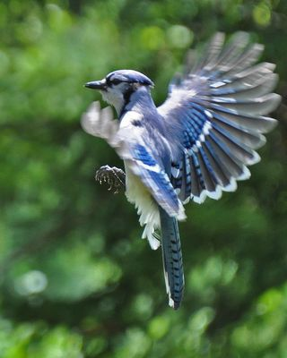 Blue Jay in Flight DSC_0862