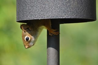 Baffled Red Squirrel DSC_1009